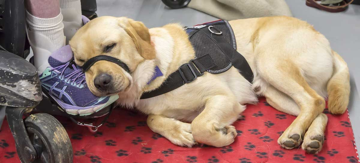 A service dog takes a nap at the feet of its owner, who is sitting in a wheelchair.